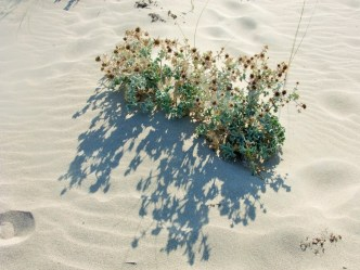 Beach flowers so often found in Greece, how rich is th Greek flora?